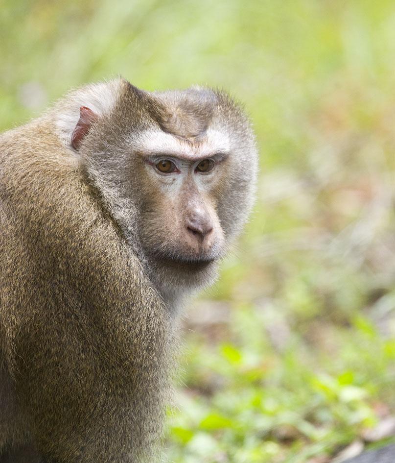 pig tailed monkey animal wikipedia